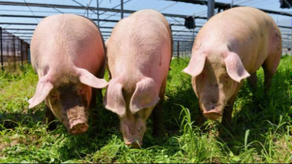 一种病死猪的高效无害化处理方法,许多养殖场都在用,建议收藏!